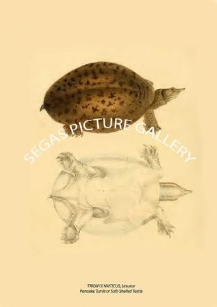 TRIONYX MUTICUS, Lesueur Pancake Turtle or Soft-Shelled Turtle